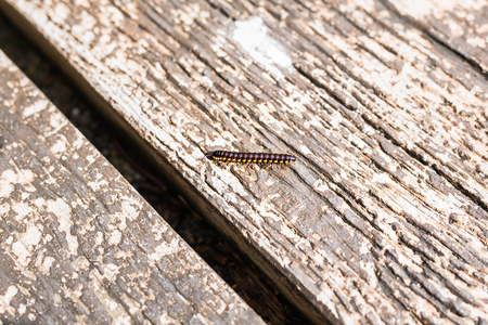 Centipede on a piece of wooden background