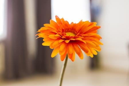 Orange gerbera flower. Closeup, Flower in vase Stock Photo