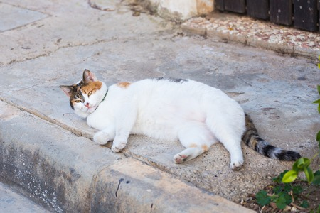 furs: Portrait of a fat cat with white furs. Lying outdoor