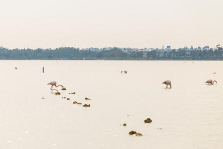 Pink Flamingo on Lake Stock Photo