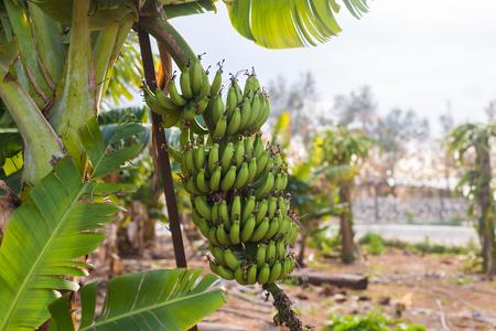 Green banana bunch on the banana plantation Stock Photo
