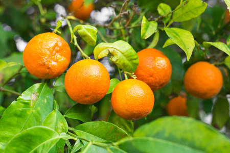 valencia orange: The fruit of the orange tree.