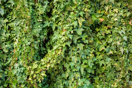 old brick wall: Old stone wall overgrown with ivy Stock Photo