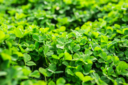 three leaved: Green background with three-leaved shamrocks. Stock Photo