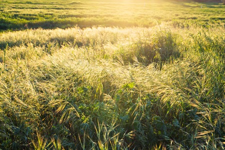 Bright sunset over green field. Green meadow.
