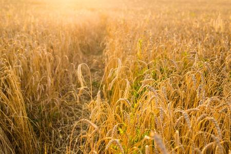 Oat Field in sunlight Stock Photo