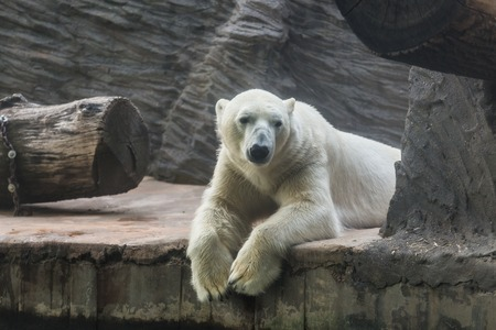 Portrait of large adult polar white bear. Zoo, wild animals and mammal concept
