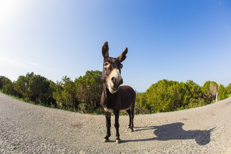 jack ass: funny donkey looking at the camera