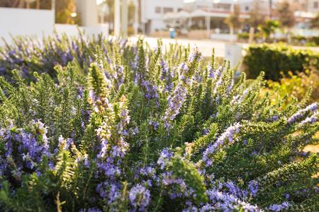 Lavender bushes closeup on warm sunset or sunrise