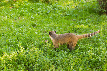 South American coati, Nasua nasua, in the nature habitat. Animal from tropic forest. Wildlife scene from the nature