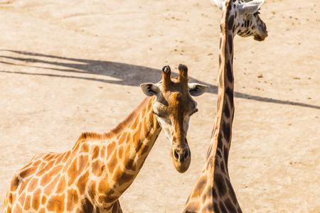 giraffes portrait in nature. Group of giraffes walks in summer nature