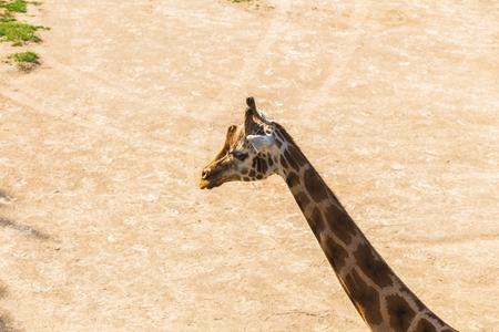 giraffe portrait in nature Stock Photo