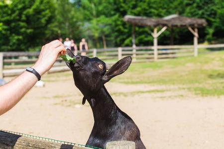 Human hand stroking a black goat. Farm animals. Stock Photo