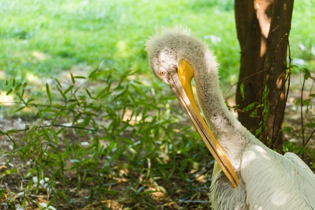 Pelican or Pink Pelican at the zoo Stock Photo