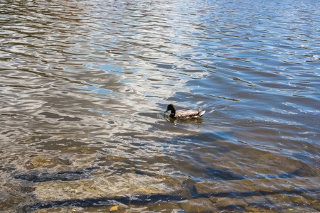 color image mallard duck: Birds and animals in wildlife. Funny mallard duck swims in lake or river with blue water Stock Photo