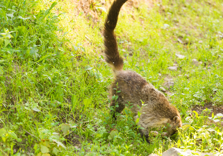 South American coati, Nasua nasua, in the nature habitat. Animal from tropic forest. Wildlife scene from the green nature Stock Photo