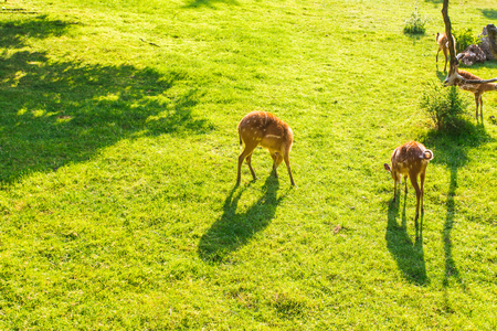 Roe deer eating fresh grass on the meadow, top view. Wildlife, animals, zoo and mammals concept Stock Photo