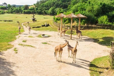 Giraffes herd at the zoo