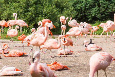 naivasha: Group of flamingos , Flamingo resting in the grass.