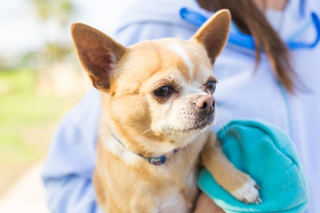 Portrait of cute chihuahua dog in outdoors