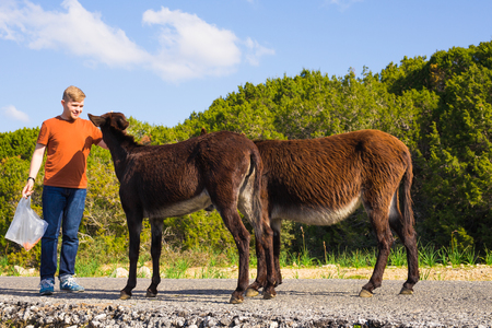 Young man feeding a wild donkeys out of hand. Wildlife, mammals, animals and nature concept