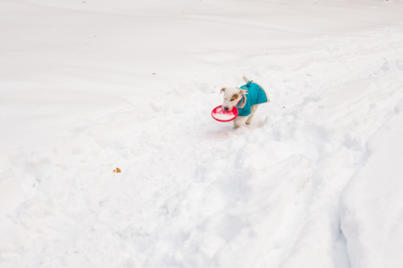 Dog Jack Russell Terrier playing in winter park.