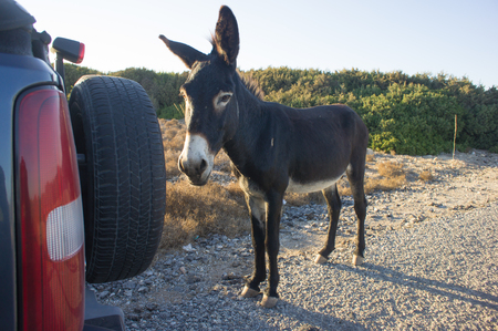 jack ass: funny donkey looking at the camera, Cyprus, Karpaz National Park Wild Donkey Protection Area