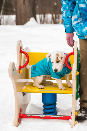 Jack Russell dog running plays winter walks in the park. Stock Photo