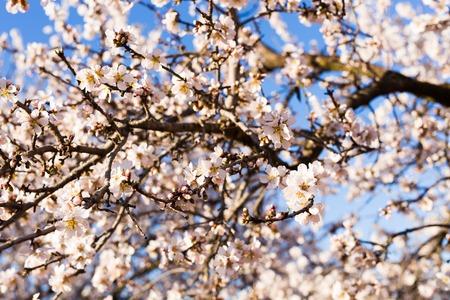 beautiful almond flowers. Almond flower trees at spring Standard-Bild