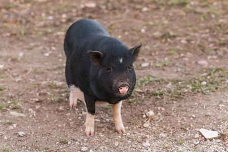 Wild black boar or pig. Wildlife in natural habitat Banco de Imagens