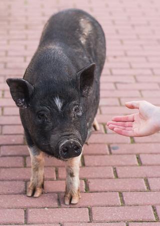 Wild black boar or pig walking on meadow. Wildlife in natural habitat Banco de Imagens