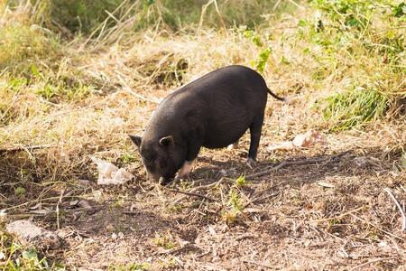 Wild black boar or pig close up. Wildlife in natural habitat