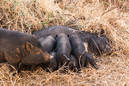 Little wild piglets suckling their mother on nature 写真素材