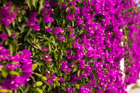 Mediterranean plants concept - Blooming bougainvillea flowers close up.