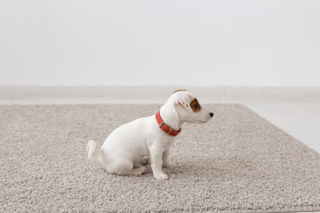 pets, animals and domestic concept - little russell puppy sitting on a carpet in living room Stock Photo