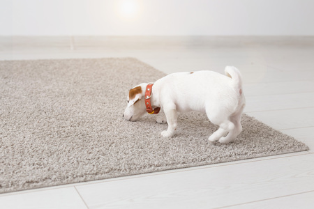 pets, animals and domestic concept - little Jack Russell Terrier puppy playing on a carpet in living room