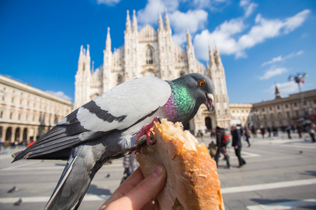 Travel, Italy and birds concept - Feeding funy pigeons from the hand in front of Duomo Cathedral Milan.