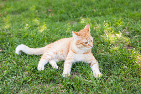 portrait of a cute ginger cat lying in a sunny green meadow on a warm summer evening Imagens