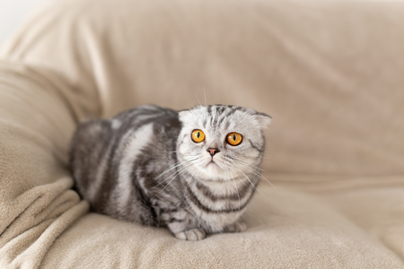 Close-up of a cute brown-eyed gray scottish fold cat sitting on the couch and exploring a new apartment. Housewarming concept for animals. Stock Photo