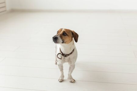 Jack Russell Terrier, studio, pet concept - a dog jack russell over the white background
