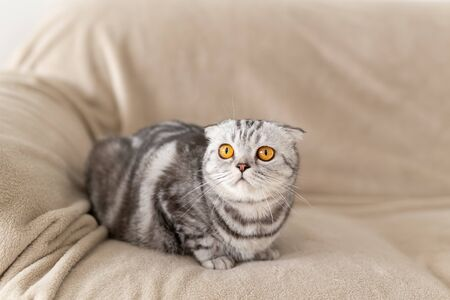 Close-up of a cute brown-eyed gray scottish fold cat sitting on the couch and exploring a new apartment. Housewarming concept for animals.