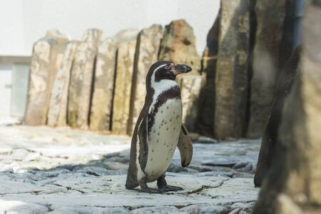 Cute african penguin walking at the zoo. Concept of animal life in a zoo. Animal protection.