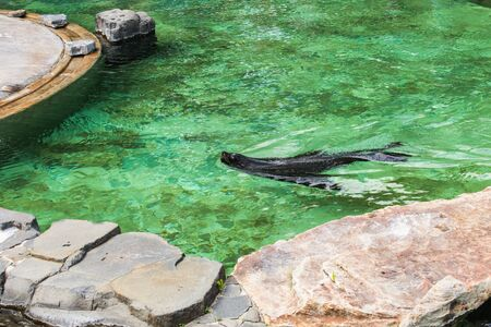 Cute fur seal swims at the zoo in a sunny warm day. Concept of animal life in a zoo and in captivity.