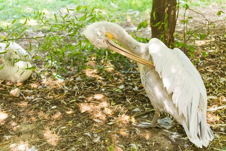 White pelican is a bird in the pelican family summer. 스톡 콘텐츠