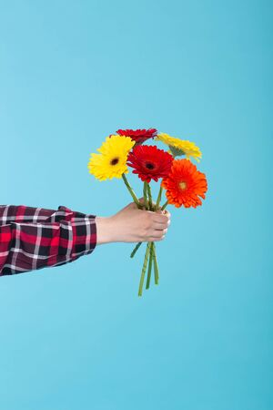 Female hand in a plaid shirt holding a bouquet of yellow red and orange Gerbers on a blue background. Gift concept and greetings. Advertising space