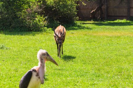 African birds and roe deer. Stork Marabou in the summertime Stock Photo