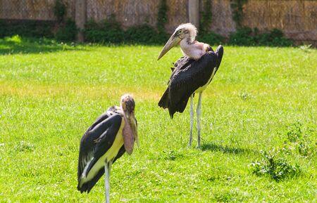 African birds. Stork Marabou in the summertime