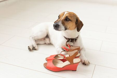 Little cute dog Jack Russell Terrier plaintively lies next to his mistresss red shoes. The concept of loyal pets animals. Banco de Imagens