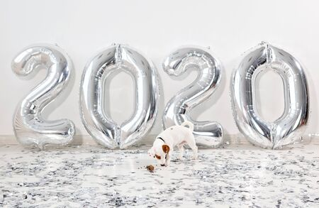 Jack russell terrier dog with balloons in the form of numbers 2020. New year celebration. Silver Air Balloons. Holiday party decoration.