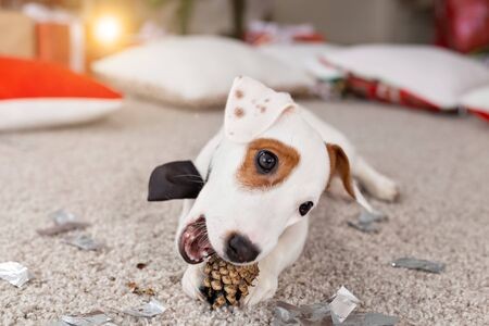 Christmas and pet concept - Jack russell terrier puppy nibbles at a fir Foto de archivo